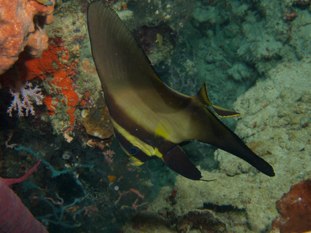 overhang: Sub-adult longfin spadefish sheltering in an overhang on the reef wall at Menjangan Island, Bali. Stock Photo
