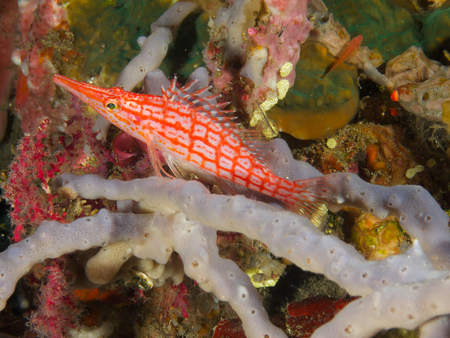 actinopterygii: A longnose hawkfish surveys its territory from its perch on a rope sponge.