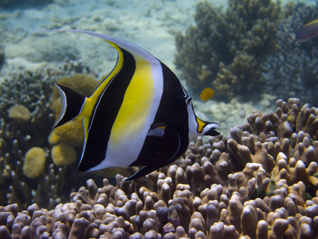 zanclus cornutus: Moorish idol swimming over hard corals near the reef top at Menjangan Island, Bali.