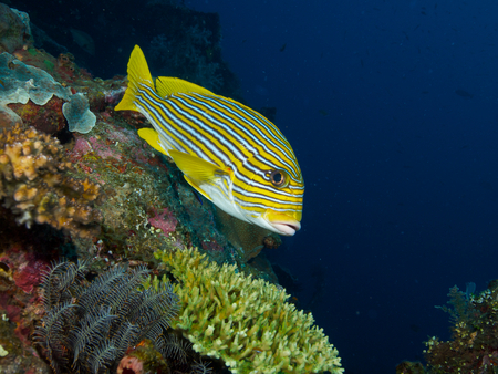 sweetlips: Yellow Lined Sweetlips hovers in mild current over the wreck of the USAT Liberty Stock Photo