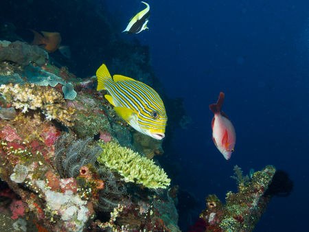zanclus cornutus: Yellow Lined Sweetlips hovers in mild current over the wreck of the USAT Liberty with a moorish idol and a red snapper in the background.