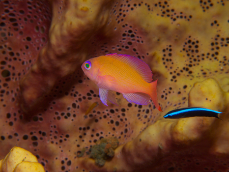 wrasse: A bluestreak cleaner wrasse offers its services to an anthia, Tulamben, Bali. Stock Photo