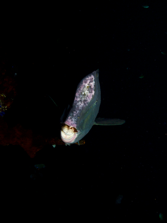 humphead: Head-on shot of a large bumphead parrotfish emerging out of the darkness from beneath the wreck of the USAT Liberty in Tulamben, Bali. Stock Photo