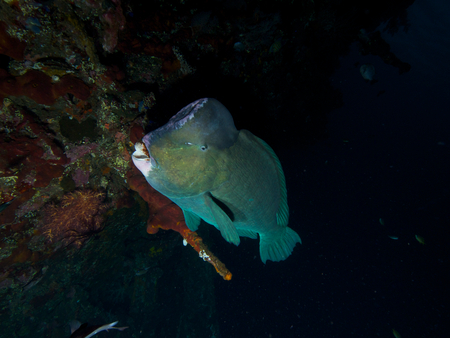humphead: Side-on shot of a large bumphead parrotfish emerging as it swims along the side of the wreck of the USAT Liberty in Tulamben, Bali.