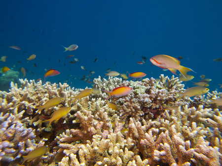 anthia: The reef tops of Menjangan Island support healthy coral growth and a diverse array of colourful reef fish species.