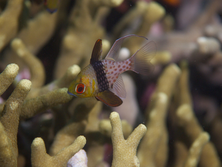 acropora: Pajama cardinalfish start to emerge from the protection of Acropora coral stands to feed at dusk in Mimpi lagoon channel, north Bali.