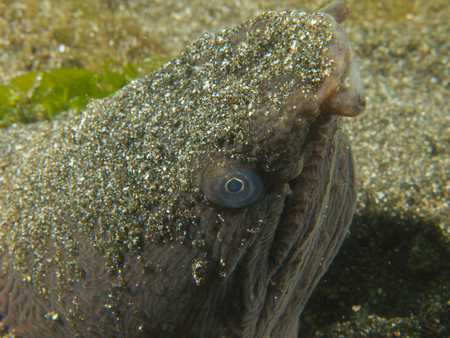 saltwater eel: One very ugly snake eel, buried up to its head in the sand at Secret Bay, in the north of Bali.