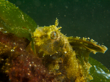 encountered: A highfin fangblenny, one of many unusual critters encountered at Secret Bay, northern Bali. Stock Photo
