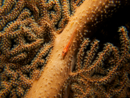 goby: A translucent loki whip goby hiding amongst the polyps of large sea fan in Tulamben, Bali.