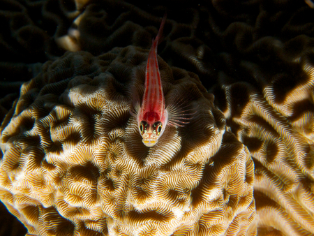perciformes: Macro top-down head-on shot of a tropical striped triplefin perched on brain coral, in Tulamben, Bali. Hard light. Archivio Fotografico