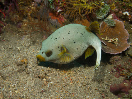 blackspotted: A grey coloured dog-faced or Blackspotted puffer engaged in moving bits of dead coral around.