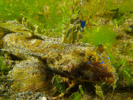 encountered: A fingered dragonet, one of many unusual critters encountered at Secret Bay, northern Bali. Stock Photo