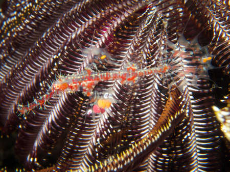 despite: Despite being almost garishly colourful, harlequin ghost pipefish are extremely well camouflaged.