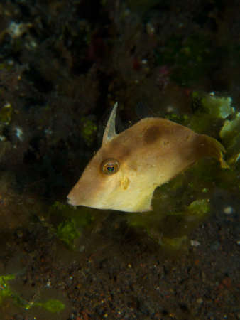 actinopterygii: A pretty little Japanese filefish hovering over black volcanic sand in Tulamben bay, Bali. Stock Photo