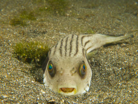encountered: A narrow-lined puffer half buried in the sand, one of many unusual critters encountered at Secret Bay, northern Bali. Stock Photo