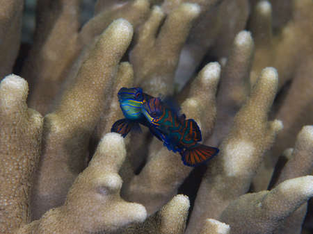 dragonet: A beautiful pair of mandarinffish rise in unison to spawn just after sunset in Mimpi lagoon channel, near Menjangan Island in Bali.