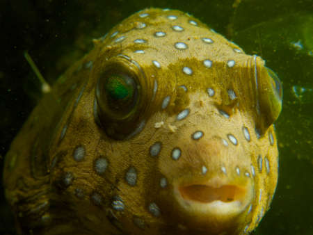 encountered: Close-up of a white-spotted puffer, one of many unusual critters encountered at Secret Bay, northern Bali.