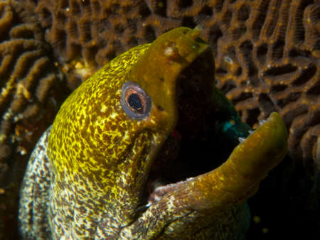 actinopterygii: Like all moray eels, the undulated morays breathing gape is not a threat display. If were being anthropomorphic, I prefer to think they look like theyre waiting for you to react to the punchline of the great joke they just delivered!Ad Dimaniyat Island