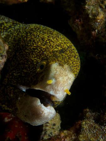 gape: Like all moray eels, the snowflake morays breathing gape is not a threat display.