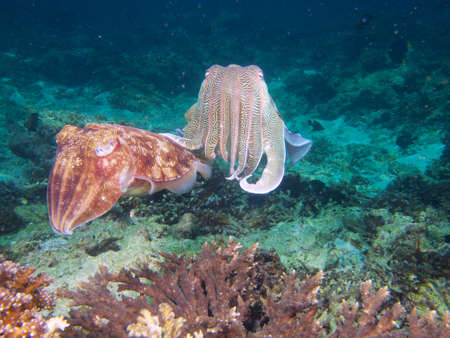 egg laying: A male cuttlefish appears to gently reassure the egg laying female Stock Photo