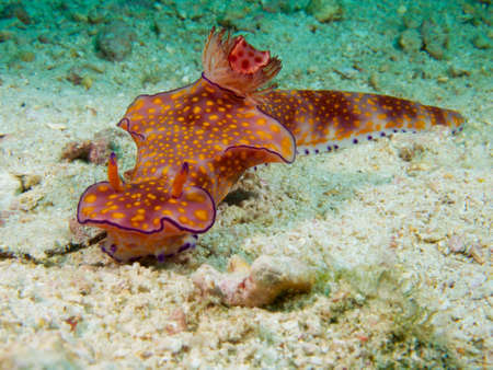 ad: A Ceratosoma trilobatum at a dive site in the Ad Dimaniyat Islands, Oman Stock Photo