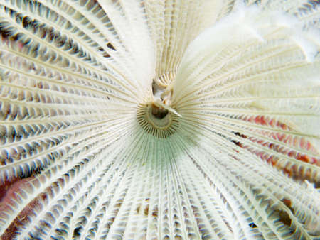 annelida: A macro shot of the details of feeding tentacles of a white feather duster worm, Ad Dimaniyat Islands, Oman.