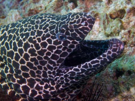 gape: Like all moray eels, the honeycomb morays breathing gape is not a threat display. Stock Photo