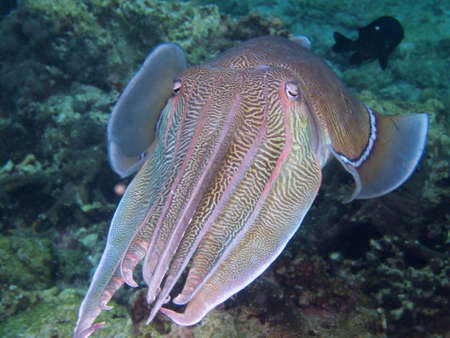 egg laying: A beautiful large male cuttlefish places himself protectively between the photographer and the egg laying female he is accompanying.