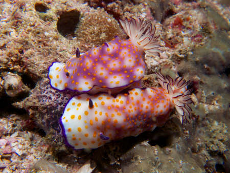 mollusca: A pair of Risbecia pulchella mating at a dive site in the Ad Dimaniyat Islands, Oman Stock Photo