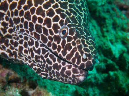 actinopterygii: A close-up shot of the head of a very large and beautiful honeycomb moray. Ad Dimaniyat Islands, Oman.