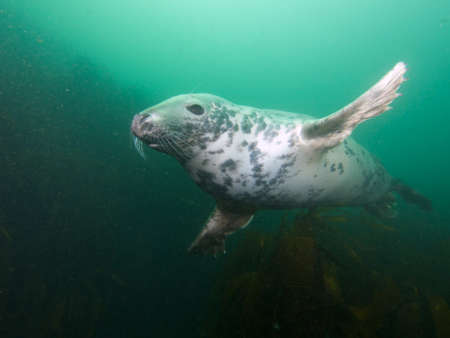underwater ocean: Wide-angle shot of an inquisitive young grey seal buzzing the photographer at North Wames, at the Farne Islands, Northumberland, UK.