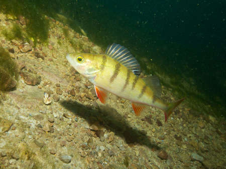stocked: Capernwray dive centre is well stocked with European or redfin perch, Lancashire, UK
