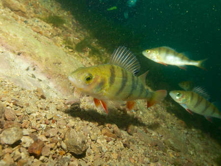 perciformes: Capernwray dive centre is well stocked with European or redfin perch, Lancashire, UK