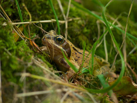 amphibia: European common frog in grassy woodland, Caerlaverock reserve, Dumfriesshire, Scotland. Stock Photo