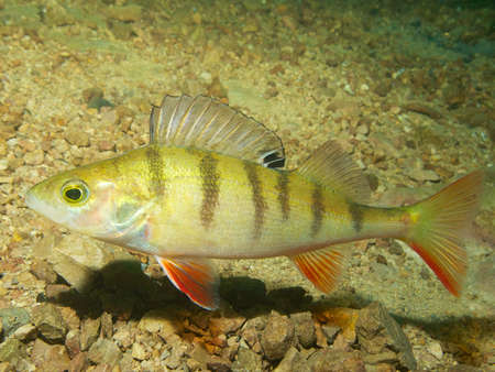 lancashire: Capernwray dive centre is well stocked with European or redfin perch, Lancashire, UK