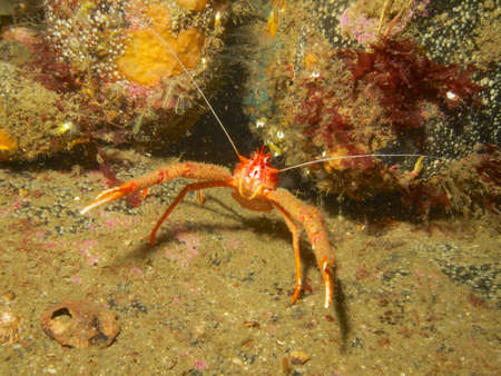 mull: Long-clawed squat lobster outside its burrow in the sound of Mull, Scotland.