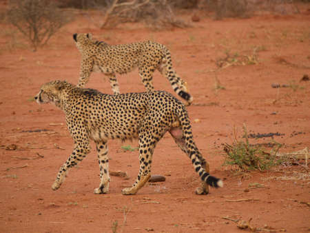 the game reserve: Male cheetah moving through their territory in the Madikwe Game Reserve, South Africa