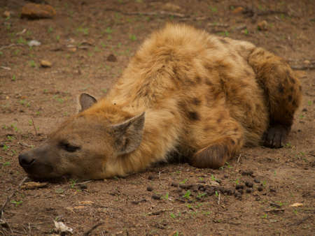carnivora: A young male spotted hyena waits patiently under a tree where a leopard has stashed its kill in Madikwe Game Reserve, South Africa. Stock Photo