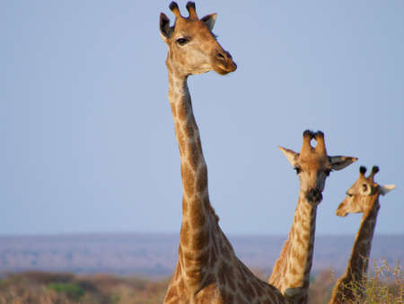 the game reserve: A tower of Giraffe framed against blue sky. Madikwe Game Reserve, South Africa.
