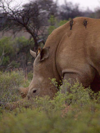 oxpecker: A southern white rhino calmly grazes while a red-billed oxpeckers inspect it for ticks and other parasites. Somewhere in the South African Veld.