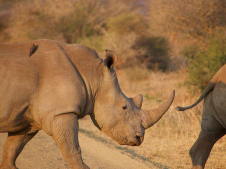 oxpecker: Two southern white rhino make their way across a dirt road, somewhere in the South African Veld.