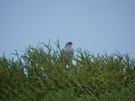 chanting: A pale chanting goshawk shot against the blue sky in the Madikwe Game Reserve, South Africa.