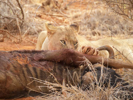the game reserve: A lioness feasts on a wildebeest in the Madikwe Game Reserve, South Africa Stock Photo