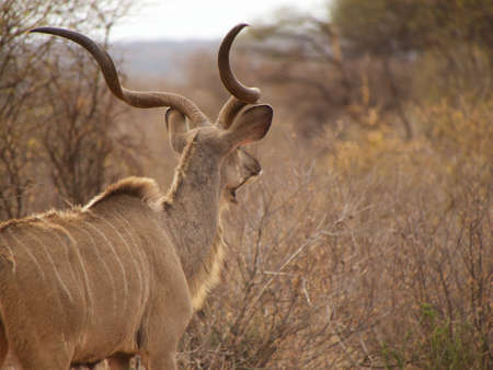 ungulate: A beautiful greater kudu bull keeps a watchful eye out for predators. Madikwe Game Reserve, South Africa.