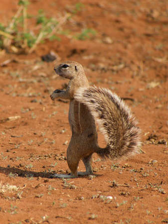 watchful: A cape ground squirrel keeps a watchful eye out for predators. Madikwe Game Reserve, South Africa.
