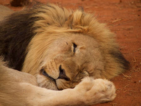 the game reserve: A heavily maned male lion sleeps off last nights dinner in the Madikwe Game Reserve, South Africa.