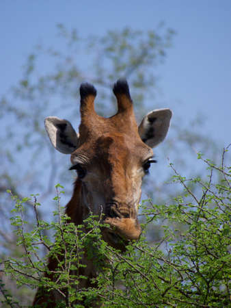 ungulate: Close-up telephoto shot of an adult giraffe feeding against the blue sky. Madikwe Game Reserve, South Africa.