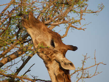 telephoto: Close-up telephoto shot of an adult giraffe feeding against the blue sky. Madikwe Game Reserve, South Africa.