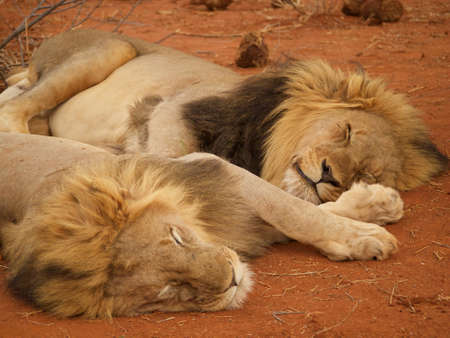 the game reserve: A pair of heavily maned male lions relax after last nights dinner in the Madikwe Game Reserve, South Africa.