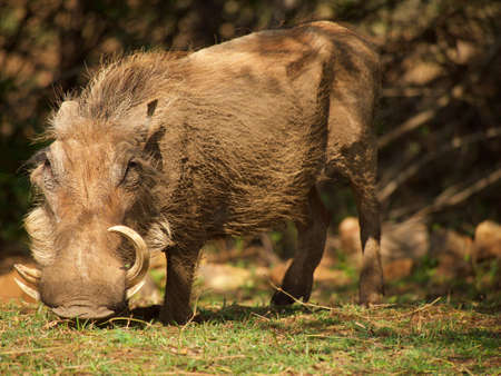 ungulate: An common warthog boar forages in the grounds of Madikwe River Lodge in the Madikwe Game Reserve, South Africa. Stock Photo